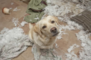 Separation Anxiety - Canine Behavior Problems