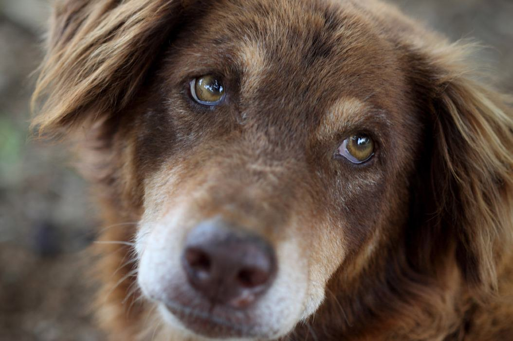 Canine Brain Disorders