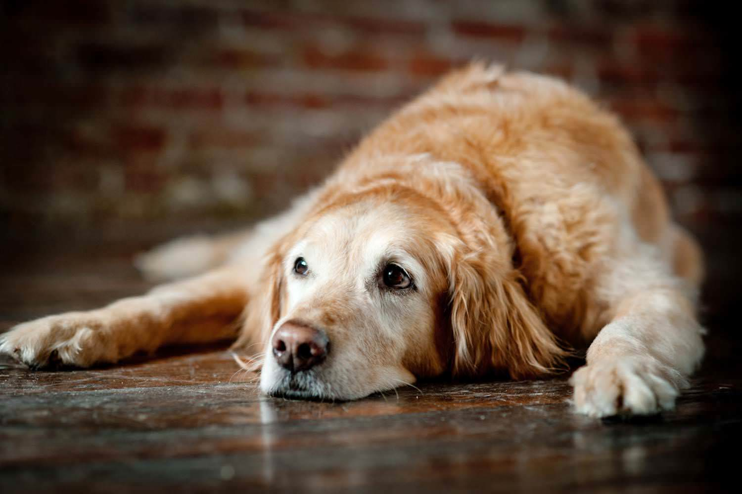 Canine Muscle Disease