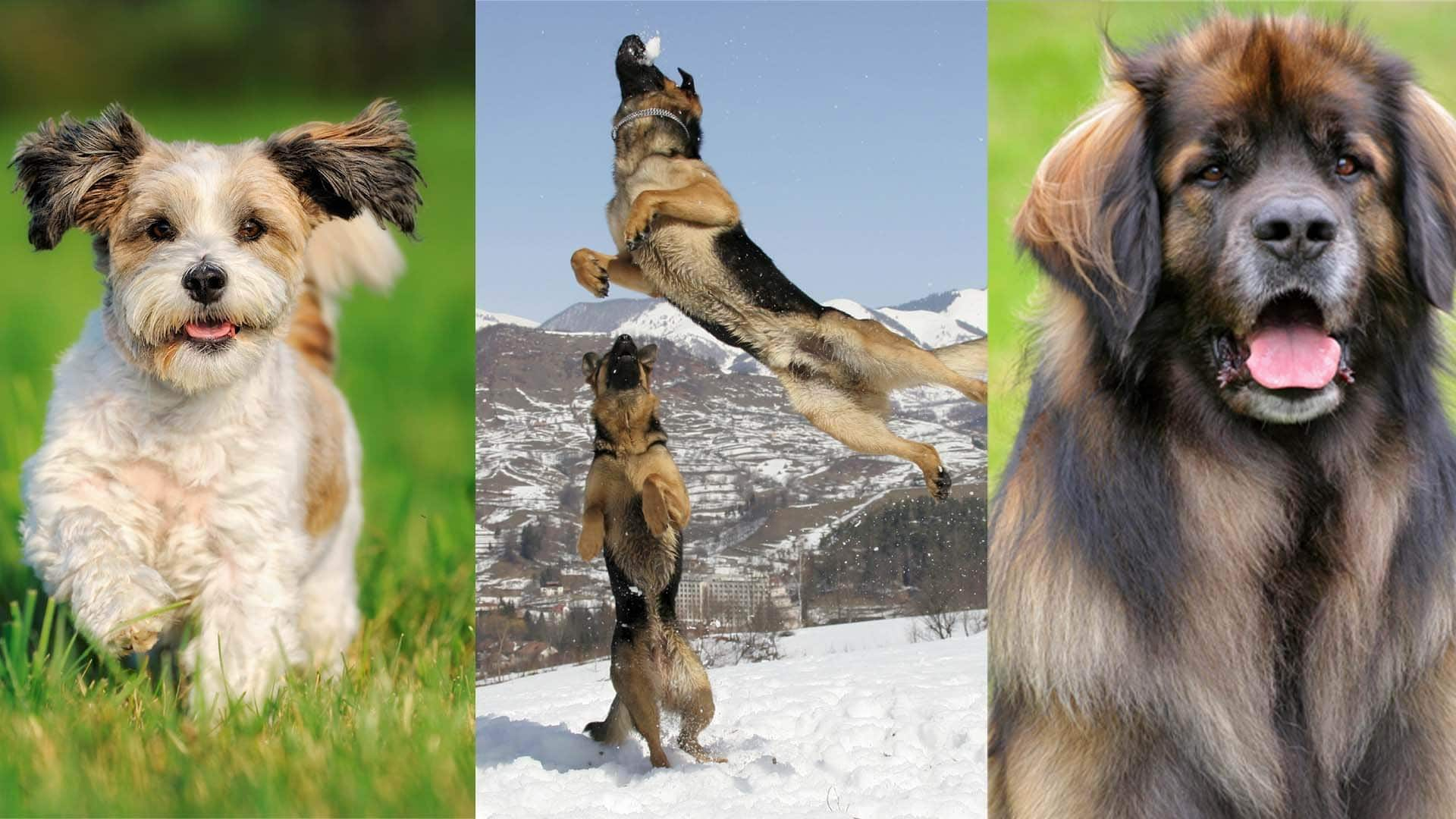1-puppies-addults-giant-breeds
