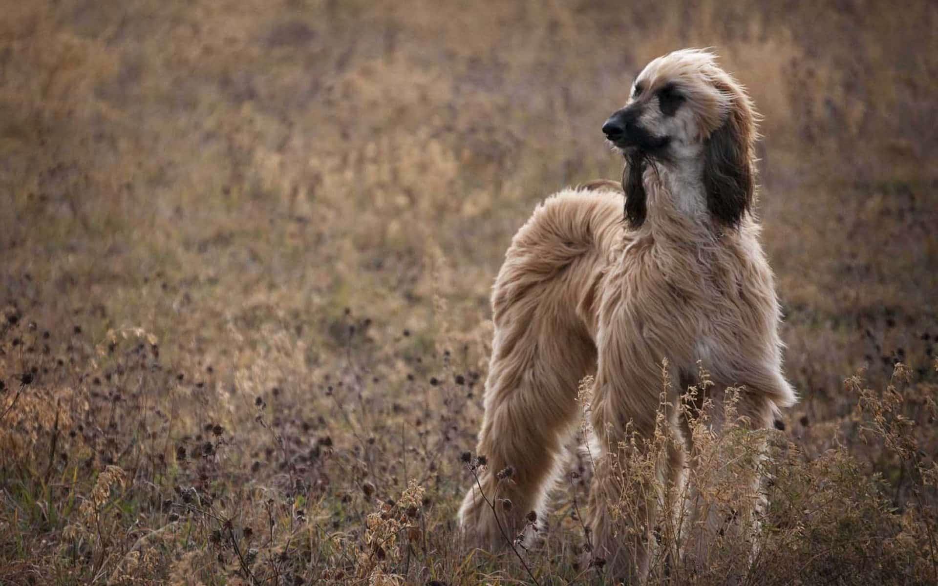 Dog Breed Spotlight: Afghan Hound