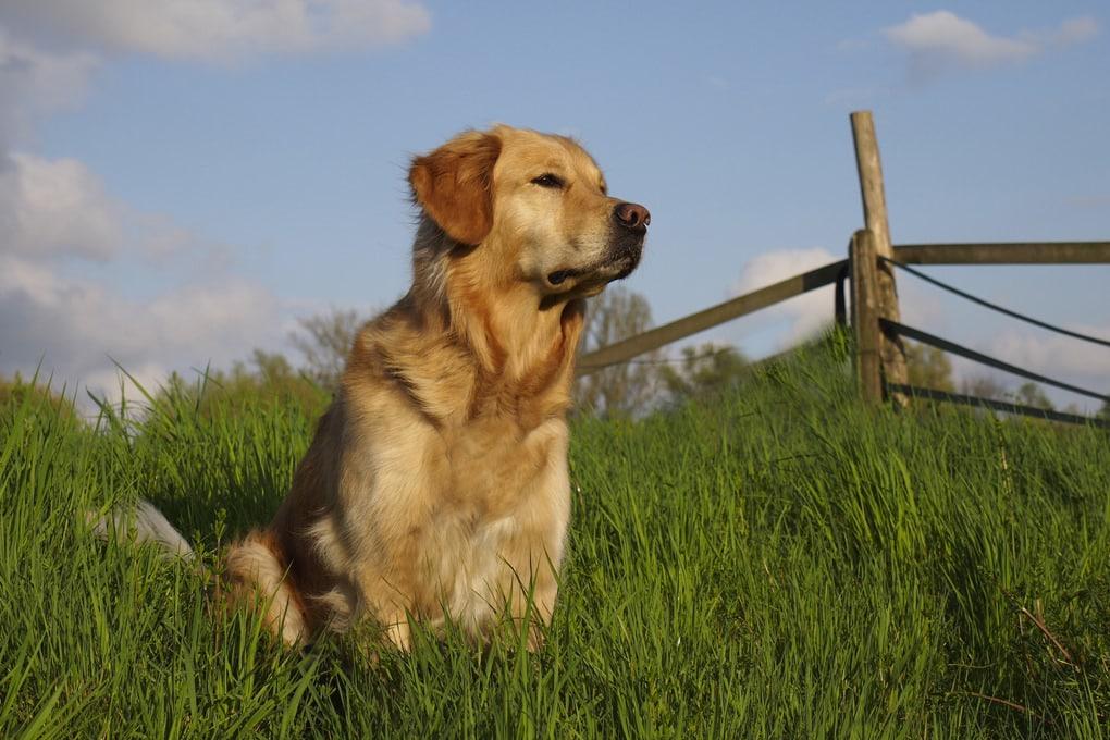 Dog Breed Spotlight: Golden Retriever