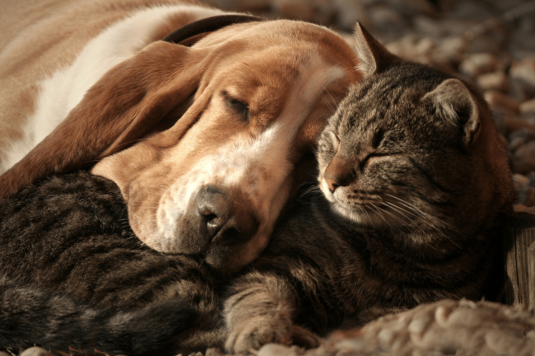 Cognitive Support for Dogs and Cats