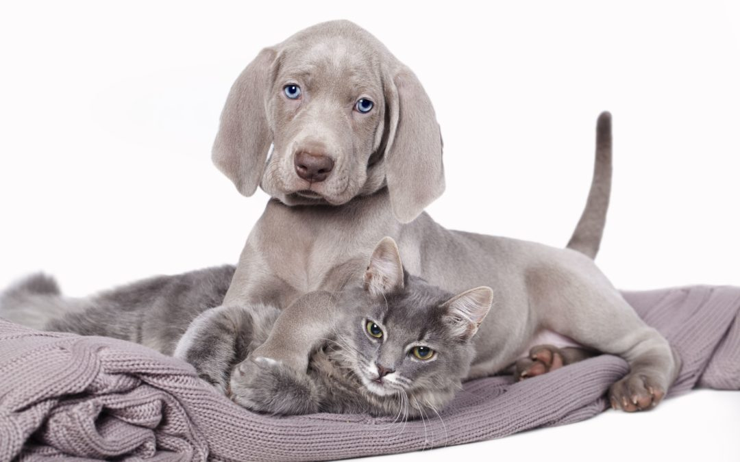 gray dog and gray cat on blanket