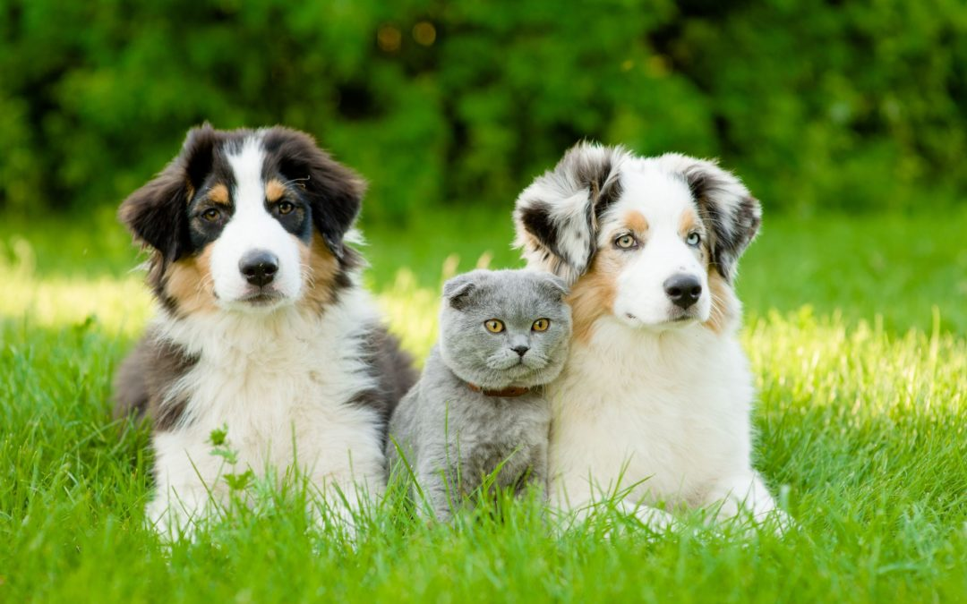 2 dogs and a cat in field